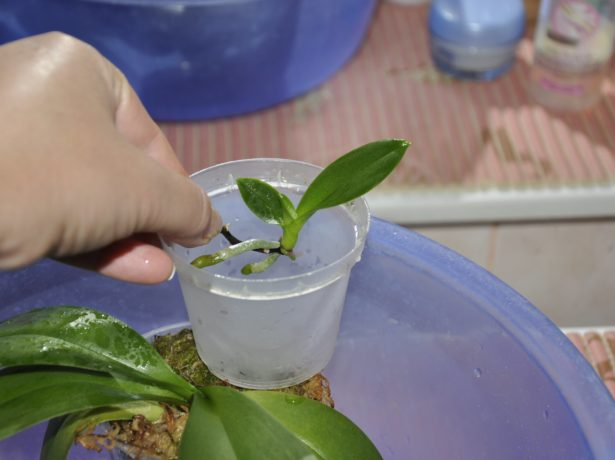 Пересадка деток орхидей в домашних условиях с пошагово