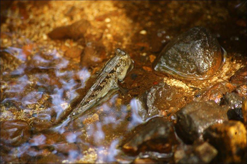 А вот илистые прыгуны — рыбы с локтями. Умеет впадать в анабиоз и лазить по стенам на присосках. Как и сами мангры, они где-то что-то перепутали Мангровый лес, в мире, земля, планета, природа, экология