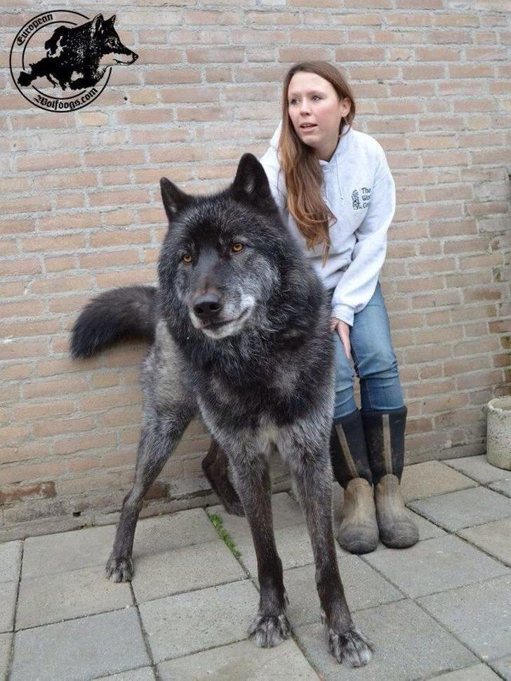 Огромные волкособы