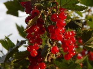 Красная смородина - вкусно и полезно!