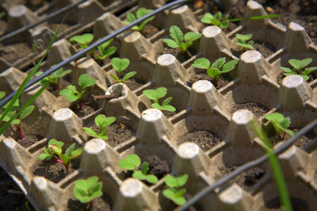Интересный способ выращивания редиса в яичных кассетах