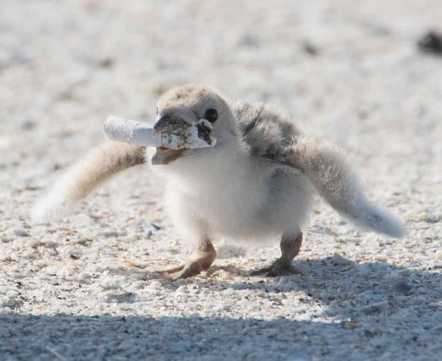 Птенец держал в клюве окурок: мама-птица поймала его вместо рыбы