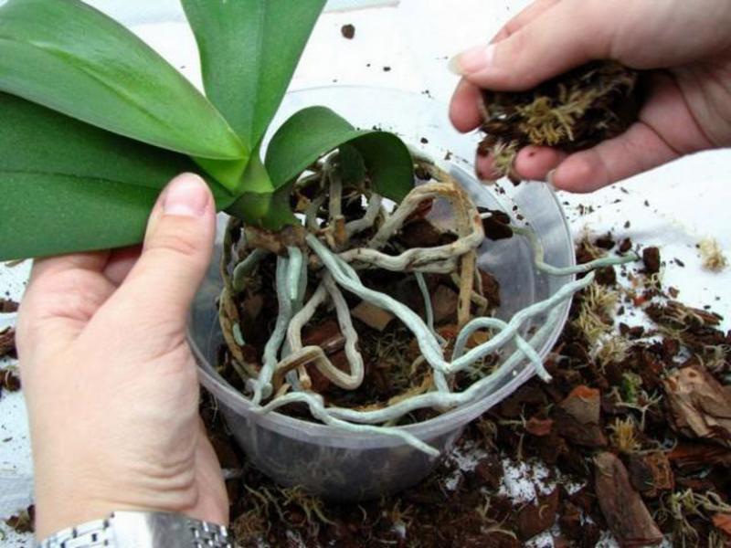 Когда и как пересадить орхидею - пошаговое руководство