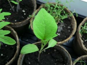 Выращивание баклажанов рассадным способом под пленкой