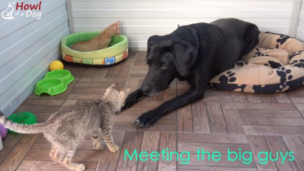 Спасенная собака принимает беспризорных котят-сирот