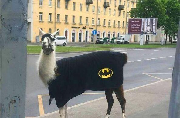 По Петербургу прогулялась лама в костюме Бэтмена