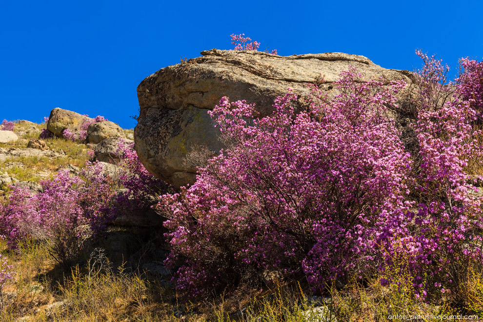 Как цветет Алтай