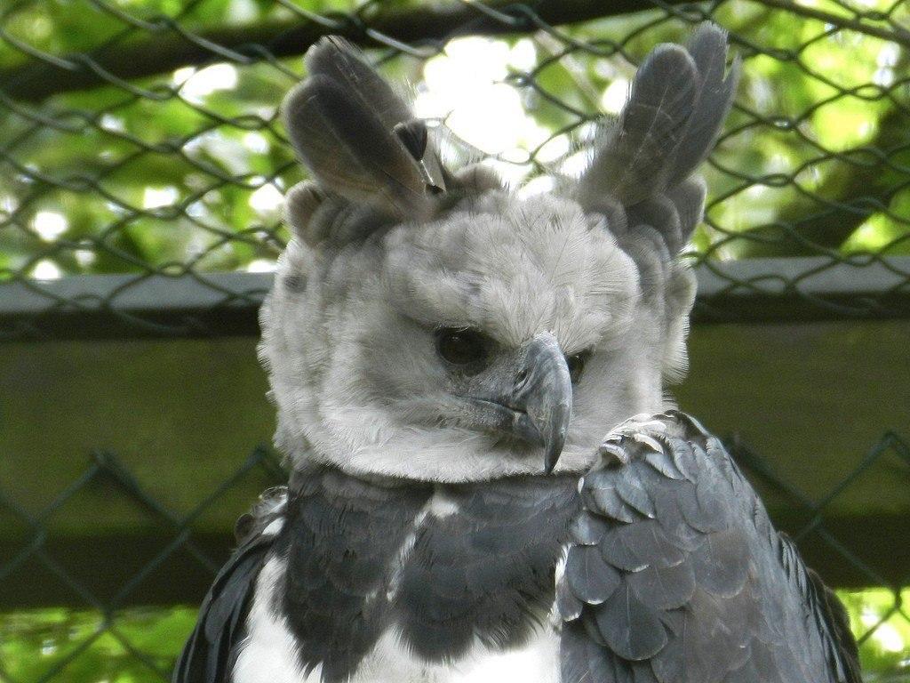 Самая Красивая Птица — Южноамериканская Гарпия