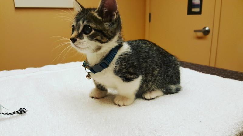 6. При средней длине тела их лапки короче, чем у обычных кошек в 2-3 раза животные, кошка, манчкин