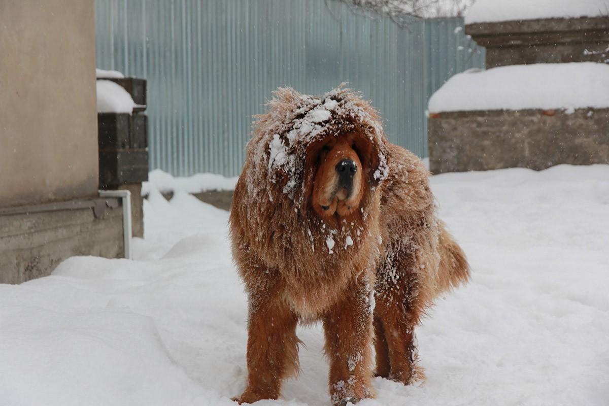 Gangsen03 Снежные львы: из Тибета в Казахстан