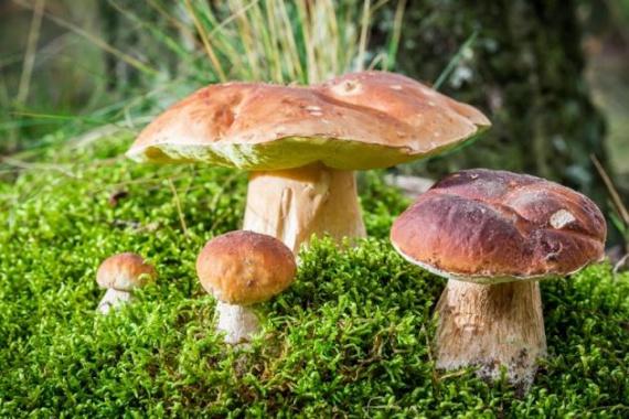 Выращиваем лесные грибы на даче