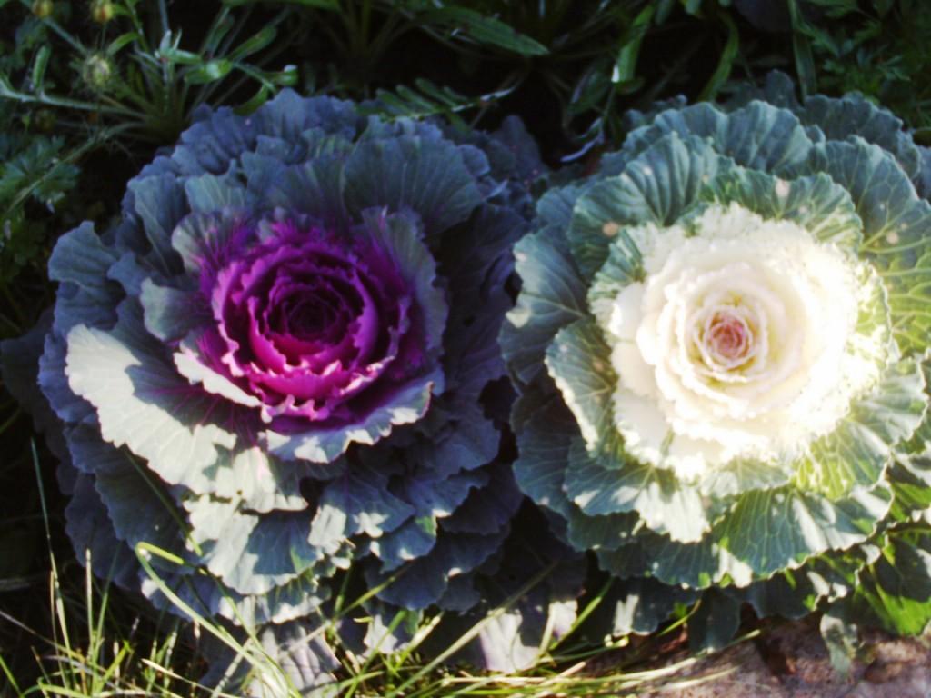 Цветы похожие на капусту фото