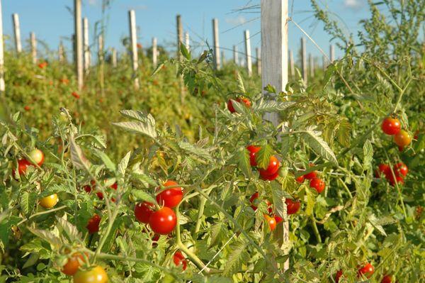 Раннеспелые томаты могут расти и в открытом грунте