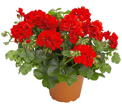 Пеларгония цветок уход в домашних условиях фото