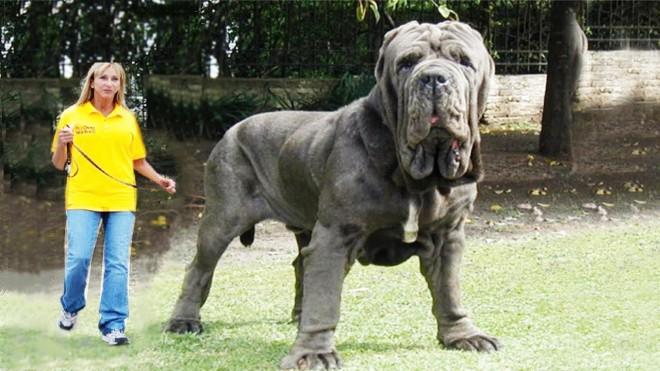 Самые массивные собаки в мире