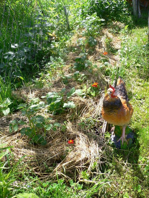 Можно все лето окучивать картофель не землей, а сорняками. Фото пользователя Ивлева Светлана