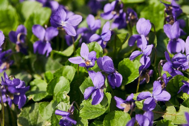 цветут фиалки
