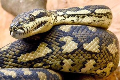 Полицейские в Германии нашли 35-сантиметровую змею в штанах пьяного юноши