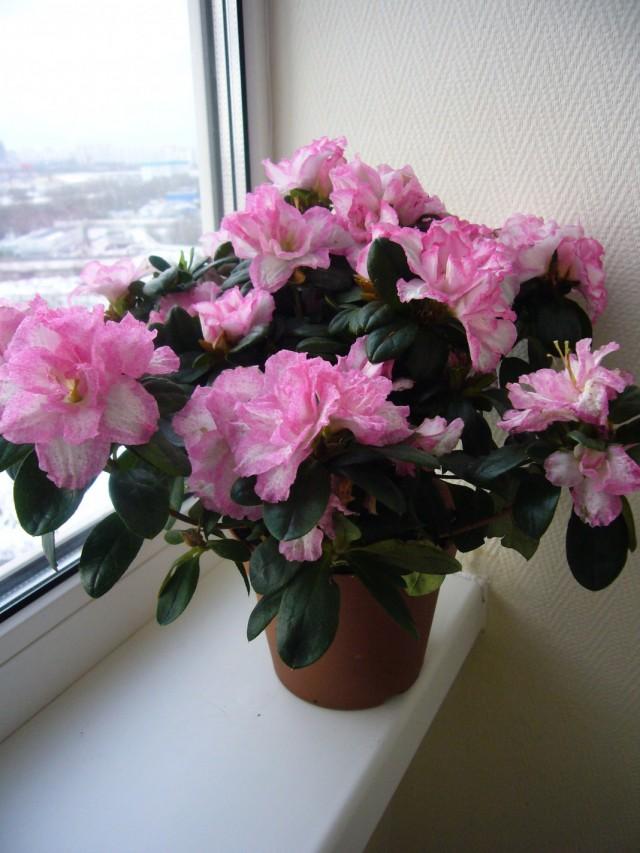 Рододендрон - Азалия (Rhododendron)