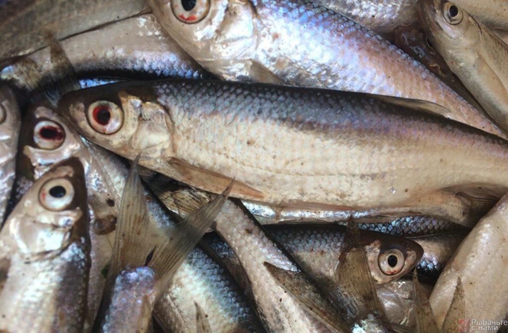 на что лучше ловить рыбу в мутной воде