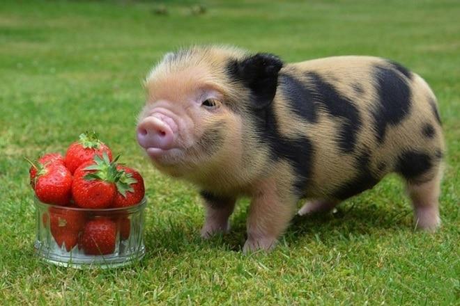 Мини-пиги – очаровательные миниатюрные свинки: особенности, характер, уход