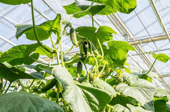 Выращивание огурцов для продажи 897