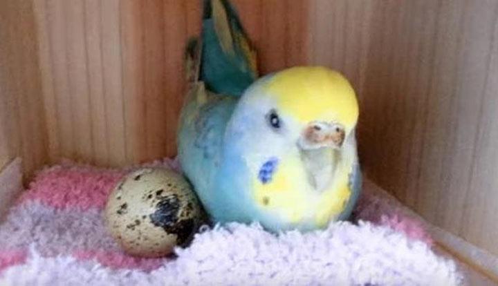 Девушка купила перепелиное яйцо в магазине и положила его в клетку к попугаю