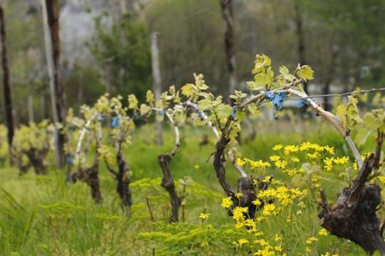 Картинки по запросу vigne printemps