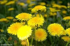 Одуванчик. 28 мая - Одуванчиковая весна