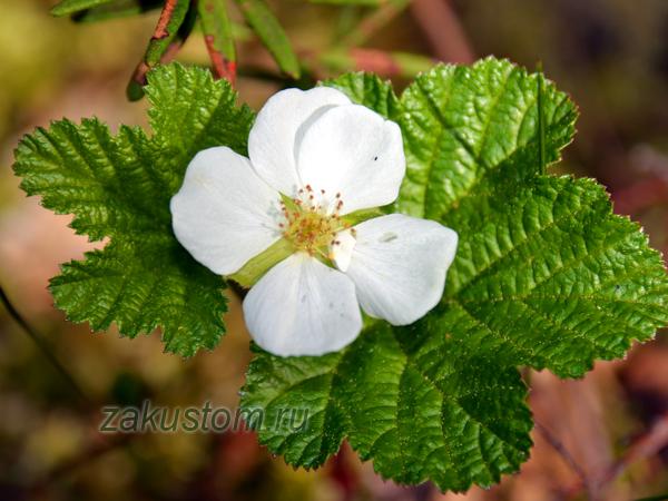 Цветение морошки: как обычное болото превращается в сказку