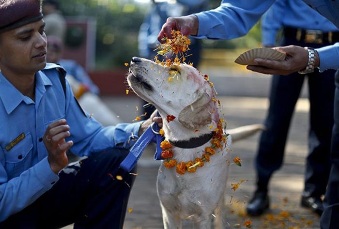 Лабрадор, помогающий полицейским, участвует в празднование Кукур Тихар.