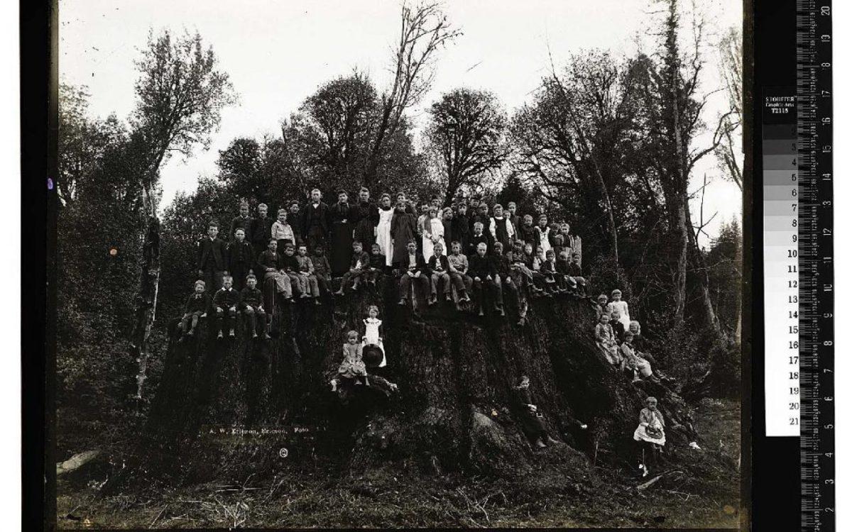 В США посадили деревья, клонированные из древних пней