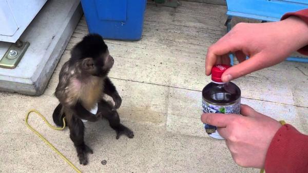 обезьяны, деньги, секс, еда, капуцин, животные, интересное