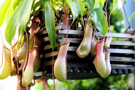 Растение хищник в домашних условиях