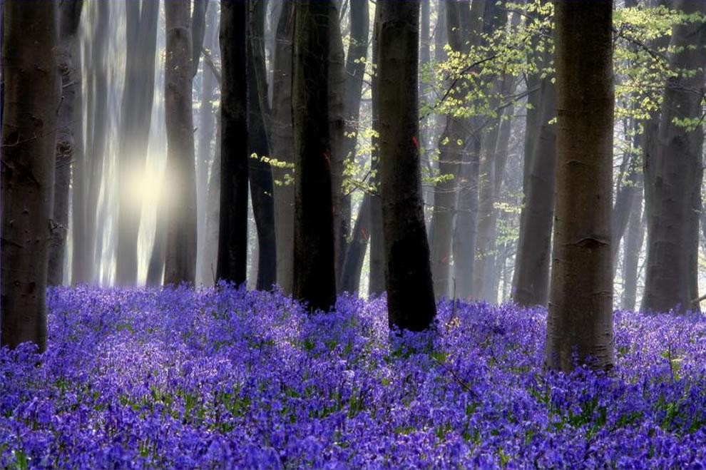 Цветение колокольчиков!Потрясающее зрелище!