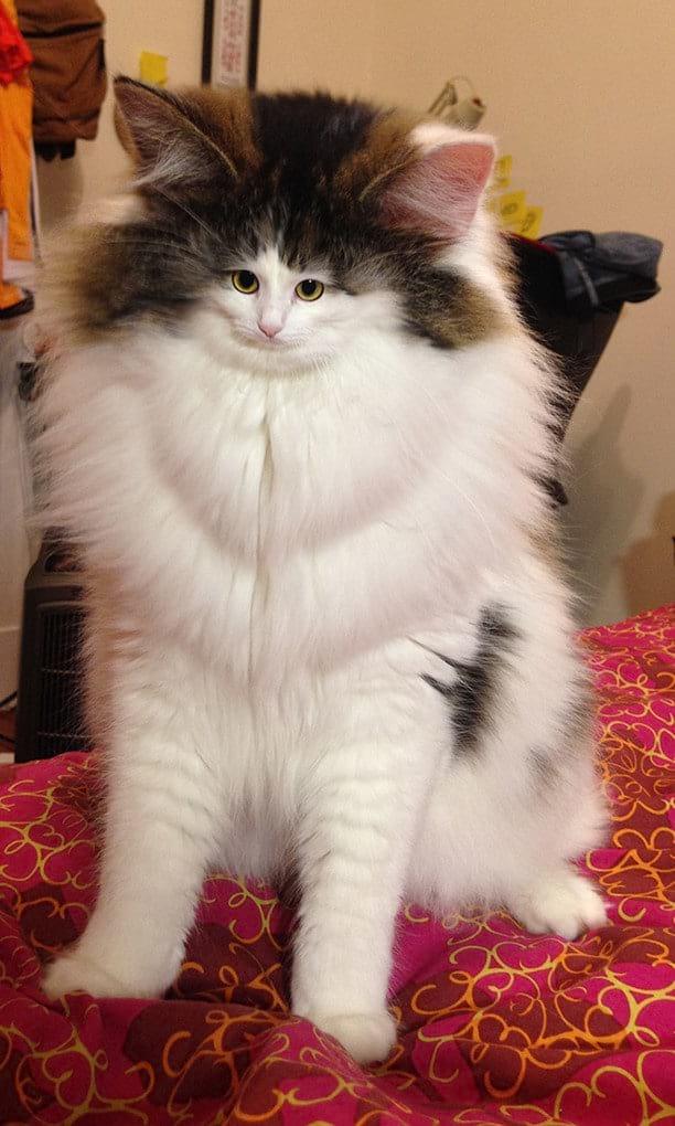 Эти коты с маленькими мордашками развеселят вас, и вы сами не поймете, почему