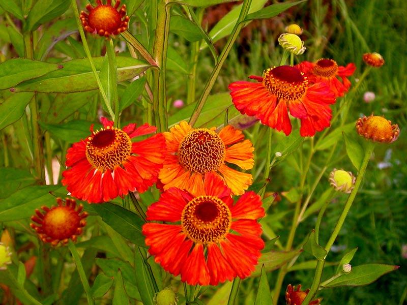 Гелениум гибридный (helenium hybridum) астровые (asteraceae) superbum rubrum - Большая энциклопедия садовода