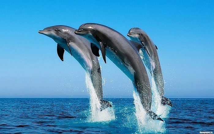 dolphins17 (700x437, 242Kb)