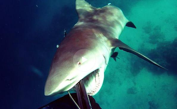 Дайверу удалось отбиться от нападения кровожадной тупорылой акулы