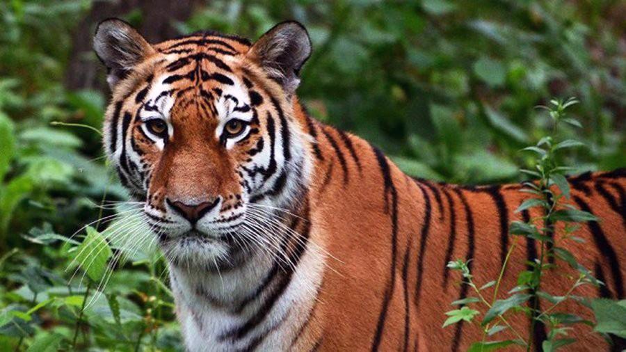 Амурский тигр Сайхан не пропадет