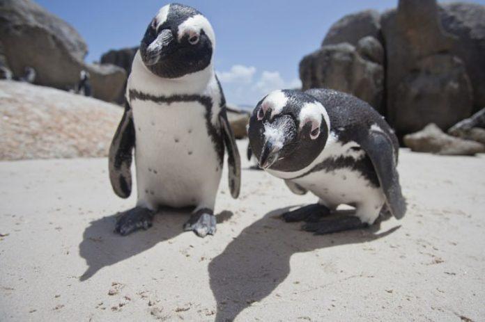15 фактов, которые доказывают, что пингвины – самые очаровательные животные в мире