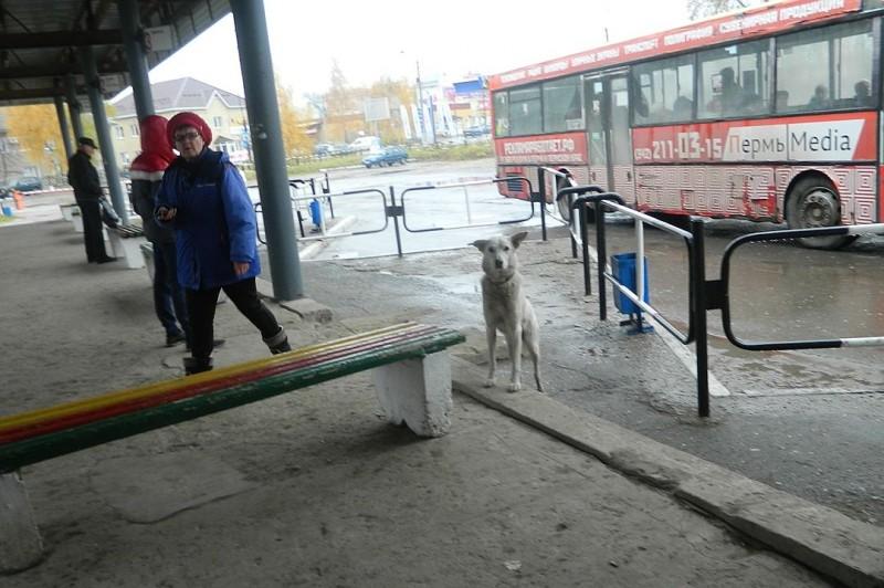 В Краснокамске на автовокзале верный пес уже месяц ждет своего хозяина и встречает все автобусы