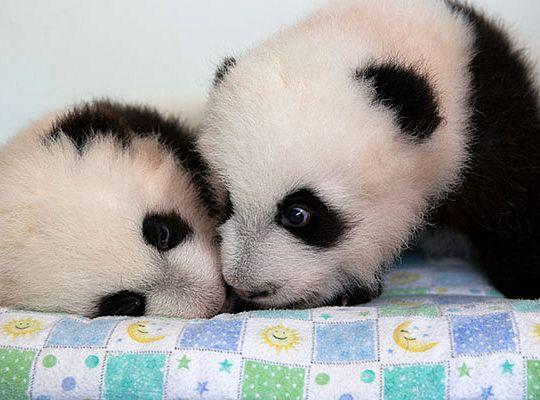 Американские панды получили поэтические имена