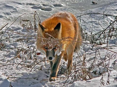 Найденный в стогу: нахальный лис вернулся к человеку