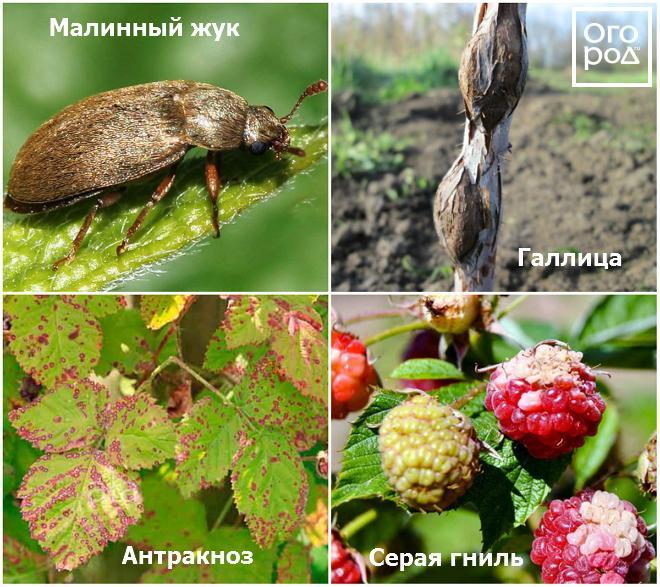 Болезни и вредители малины