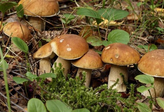 Белые грибы на огороде выращивание