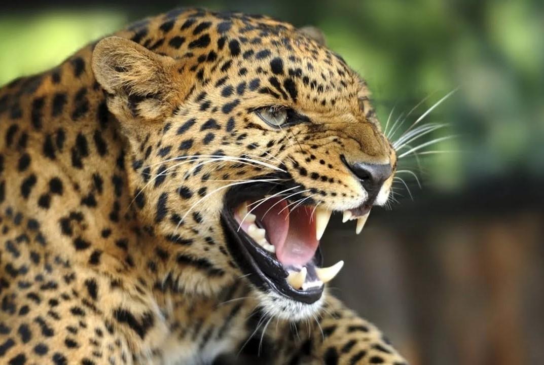 Леопард Валера собрал друзей…