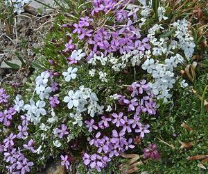 однолетние цветы фото и названия садовые