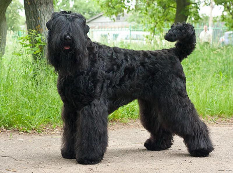 «Собака Сталина», или Как русский чёрный терьер завоевал весь мир