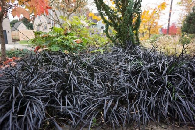 Растения черного цвета: так бывает и это стильно!